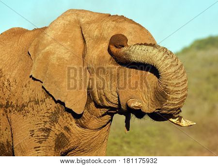 Picture of an elephant rubbing its eye with his trunk.