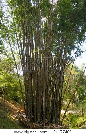a lot of bamboo trees growing together Thailand