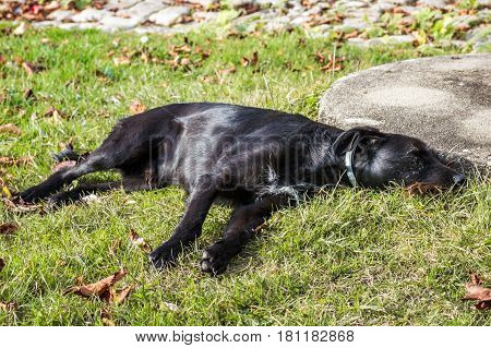 A black dog lying in the garden in France