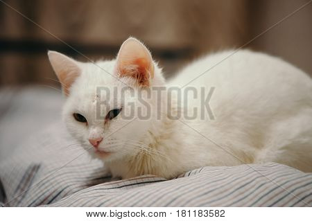 White cat is on the bed. Home cosiness.