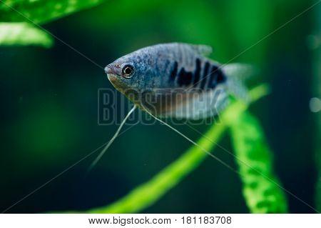 Gourami. Seaweed. Blue fish. Azure. Macro. Aquarium