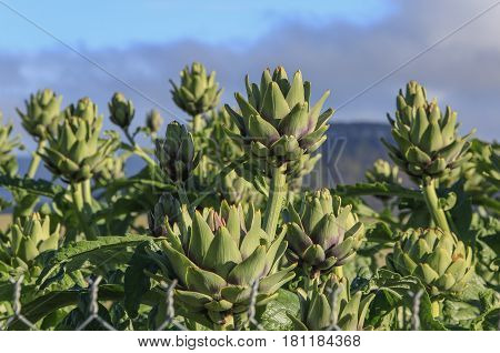 Artichoke flowers on field in Dalat, Vietnam