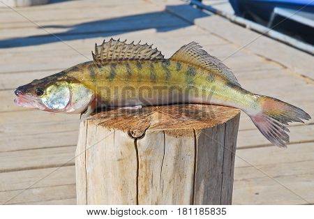 Caught on a spinning perch lies on a wooden stump