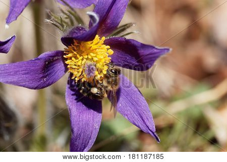 A honey bee on a pasque flower.