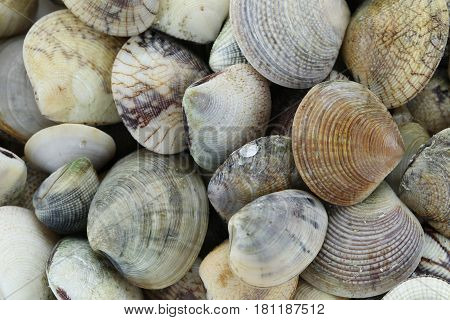 animal sea of RIDGED VENUS CLAM for ingredients cooking in thai foods.