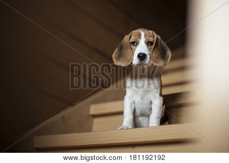 Cute little beagle puppy sitting on wooden staircase and watching into the camera.