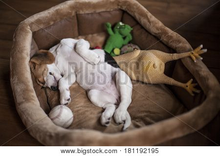 Cute little beagle puppy sleeping in dog bed with its toys.