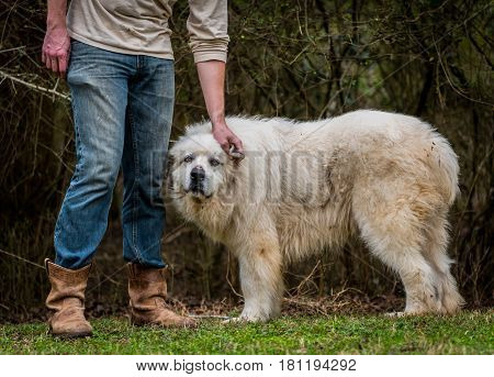 Great Pyrenees Herding Dog Getting Some Ear Scratches From His owner