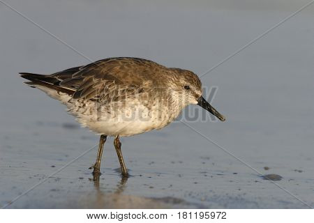 A Red Knot sandpiper, Calidris canutus in winter plumage looking for food in morning light in shallow water