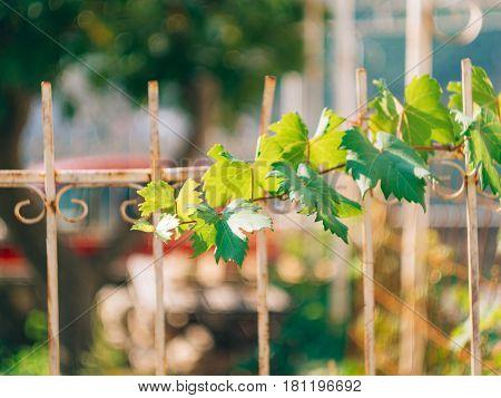 Grape vine near the house in Montenegro, the Balkans. Adriatic Sea.