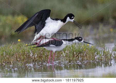 Black-necked Stilts Copulating At The Edge Of A California Pond