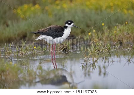 Black-necked Stilt Wading In A Shallow California Pond