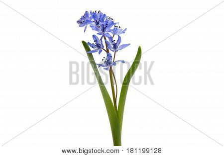 Beautiful blue natural fresh snowdrops flowers isolated on white background