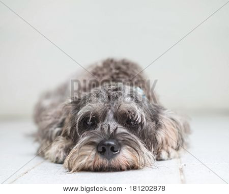 Closeup schnauzer dog lied on blurred tile floor and white cement wall in front of house view background with copy space