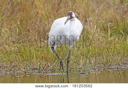 Whooping Crane on the Hunt in Wisconsin