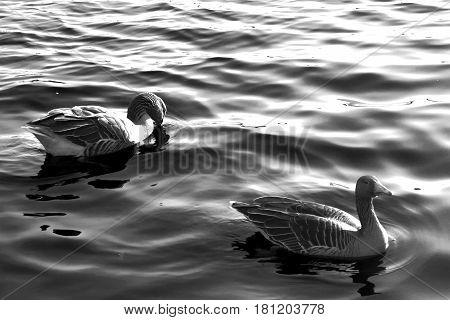 Wasservogel Gans,Tier Vogel Schwan,background black white animal