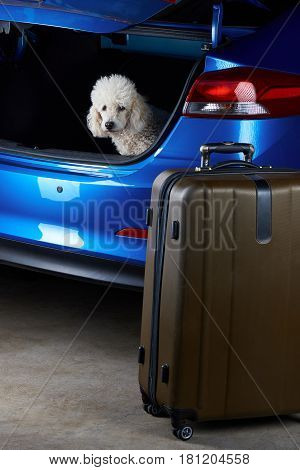 Poodle Dog Want To Travel