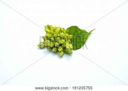 Cowslip creeper and green leaf isolated on white background.