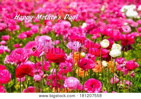 Colorful Ranunculus fields in Carlsbad California USA - Happy Mother's day concept