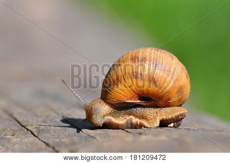 Snail crawling on old tree trunk. Burgundy snail, Helix, Roman snail, edible snail or escargot crawling
