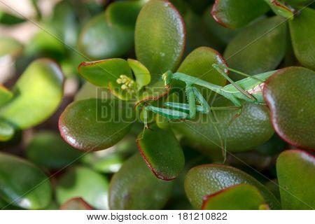 Mantis (Mantodea) on the leaves of an Jade plant (Crassula ovata)
