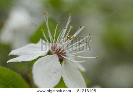 Macro Close-up View Of Nice Cherry Flower
