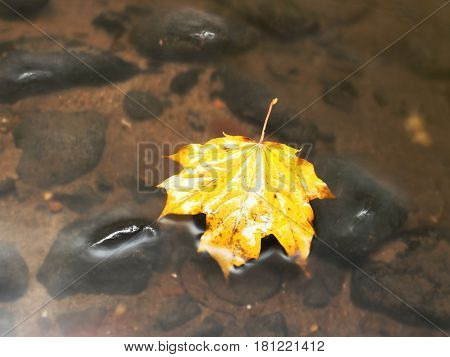 Fallen Maple Leaf. Rotten Yellow Orange Dotted Maple Leaf In Cold Water Of Mountain Stream. C