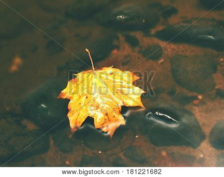 Broken Leaf From Maple Tree On Basalt Stone In Blurred Water Of Mountain River.