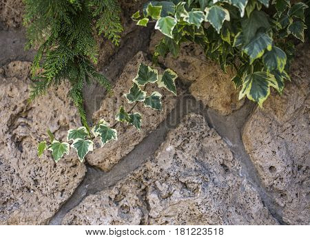 The variegated ivy and green thuya on a stone wall, a beautiful background