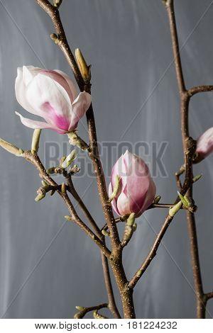 flowers magnolia in glass vase Magnolia stellata . Still life.