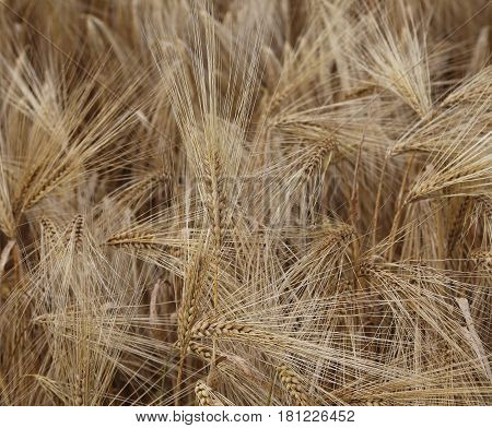 Background Of Ripe Ears Of Wheat Grown In The Field