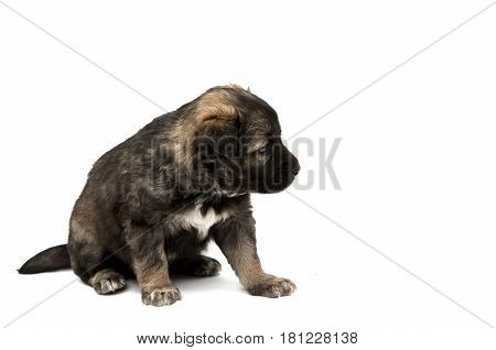 Puppy small dog isolated on white background