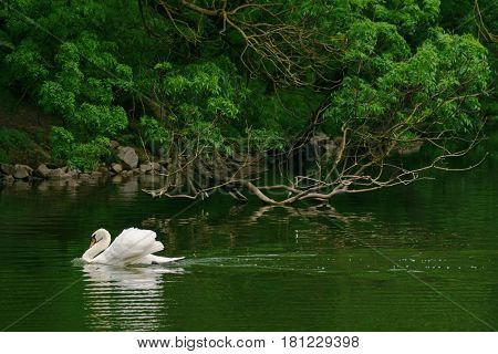 Pond lake loch river with a beautiful white swan.