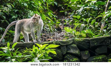Long-tailed macaques Macaca fascicularis, in Sacred Monkey Forest, Ubud, Indonesia.
