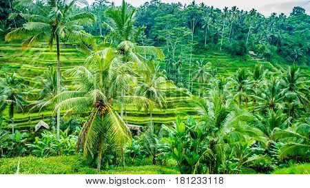 Amazing Tegalalang Rice Terrace Fields and some Palm Trees Around, Ubud, Bali, Indonesia.
