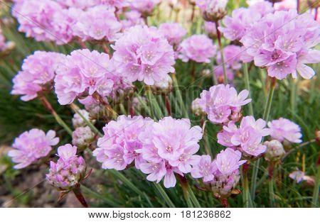 Closeup of bright pink Sea Thrift Armeria Maritima flowers.
