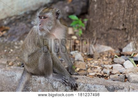 Long Tail Macaque Monkey At Tiger Cave Krabi Thailand.