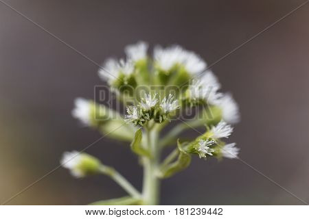 Macro photo of a white butterbur (Petasites albus) flower.