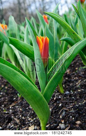 Beautiful red tulip in the garden on a spring garden