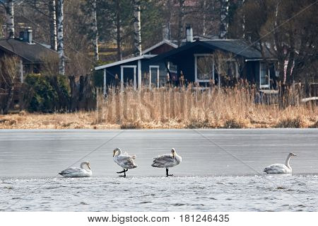 Whooper Swans Resting On The Ice Of Frozen Lake During The Migration
