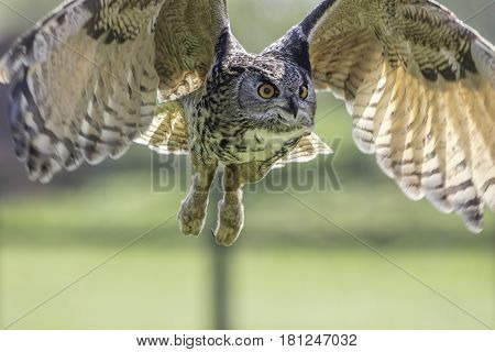 European eagle owl (Bubo bubo) bird of prey in flight with wings raised.
