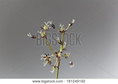 Flowers of the field wood rush grass (Luzula campestris)