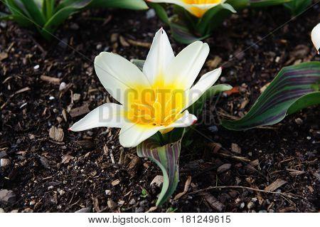 Spring flowers - special elegant liliaceae tulips