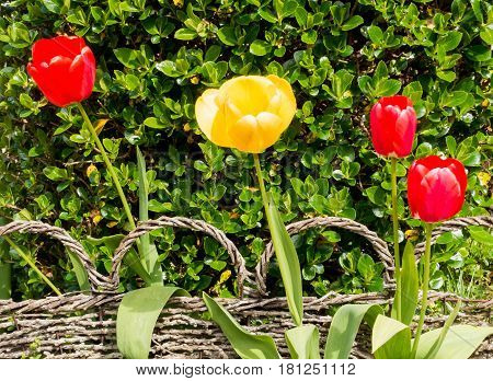 Sunlit red and yellow tulips in front of a beautiful small ornamental braided reed fence and green hedge.
