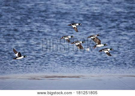 Migrating Flock Of Golden Eye Ducks Flying Above The Water In Spring