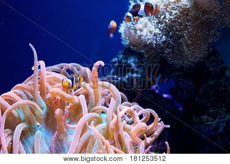 SEATTLE, WASHINGTON, USA - JAN 25th, 2017: Sea anemone and a group of clown fish in marine aquarium on blue background