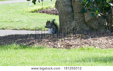Grey Squirrel in Botanic garden Dublin Ireland