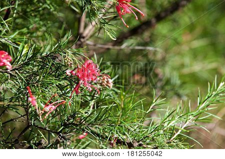 Explore Grevillea Sericea Spider Flower blossom in the garden