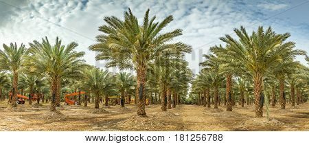 Plantation of date palm trees. Start of rearing season of dates. Tropical agriculture industry in the Middle East.  Toned image for vintage effect