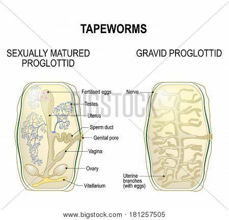 Proglottid of taperworms. sexually mature proglottid and gravid proglottid. Taenia solium or Taenia saginata